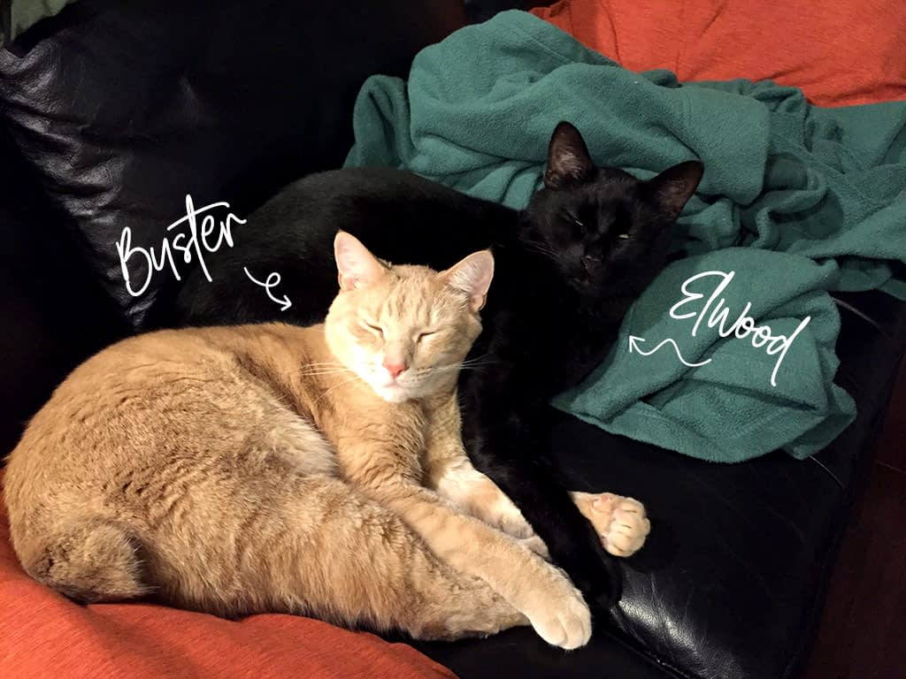 Two cute cats lay curled together on a couch. One is orange named Buster. The other is black named Elwood.