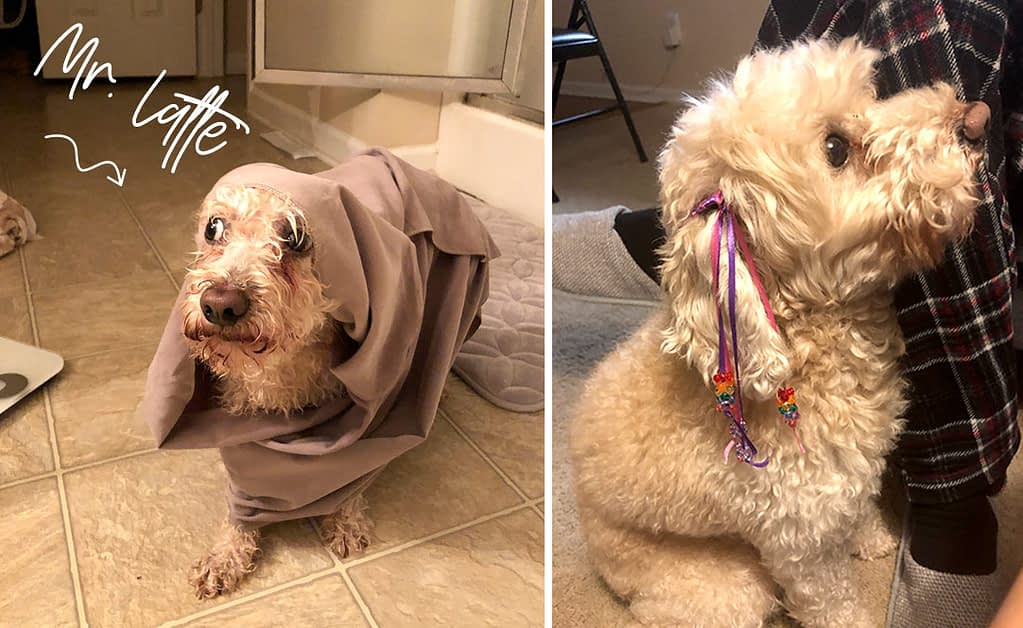 A cute white curly haired dog is wrapped in a blanket getting out of the shower looking disheveled.