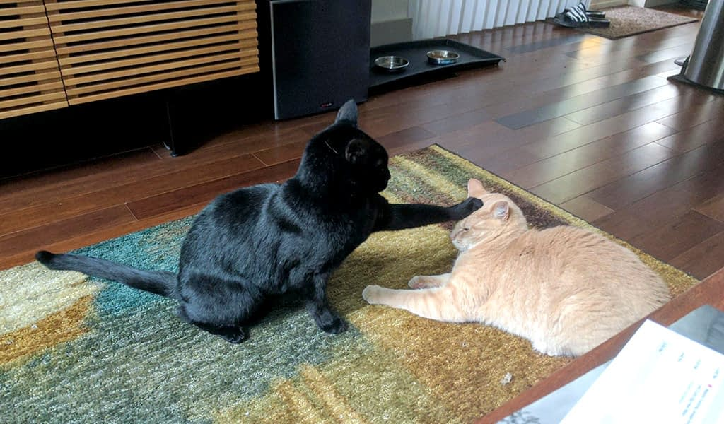 A black cat and orange cat engage in battle. The black cat has one paw extended and pushes down on the orange cat's head.